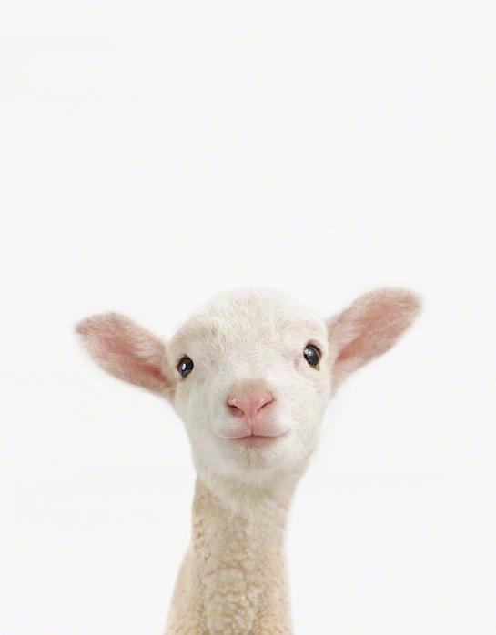 LittleDarlings - Lamb