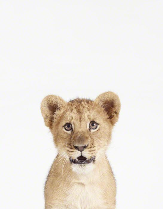 LittleDarlings - Tiger