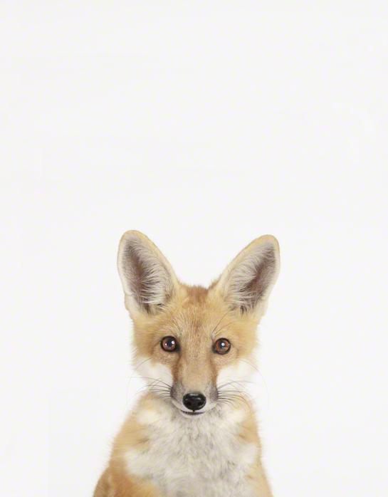 LittleDarlings - Fox
