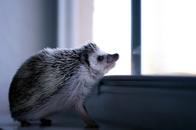 Hedgehog Looking Outside