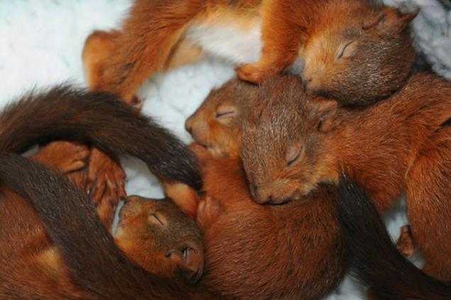 Four 5 week old squirrel kittens sleeping in a basket