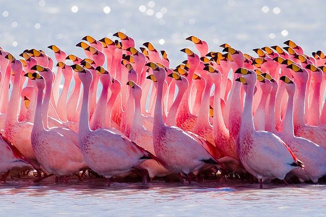 Mating Ritual: James's Flamingo