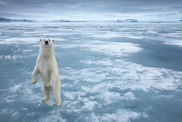 Oso polar parado en hielo