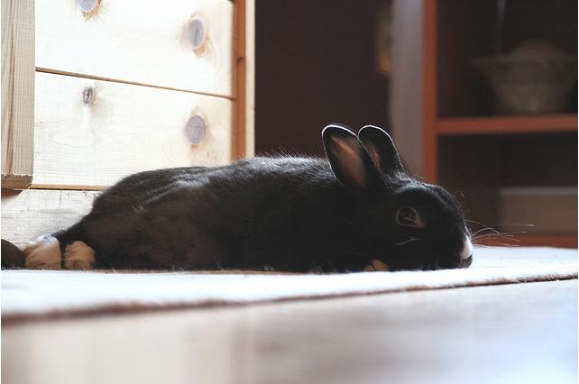 black Bunny lying on floor