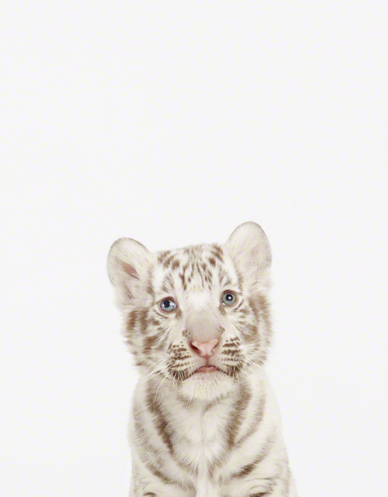 LittleDarlings - White Tiger