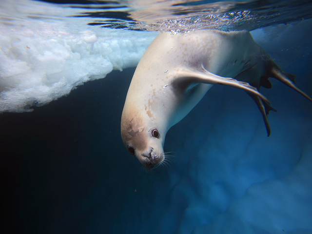 Crabeater seal underwater