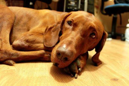 Wix Dog # 17: Rapido