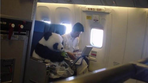 panda on airplain