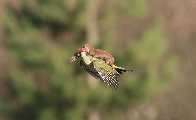 Weisel Riding a Woodpecker