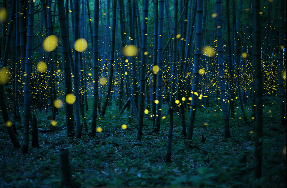 Fireflies in a bamboo forest