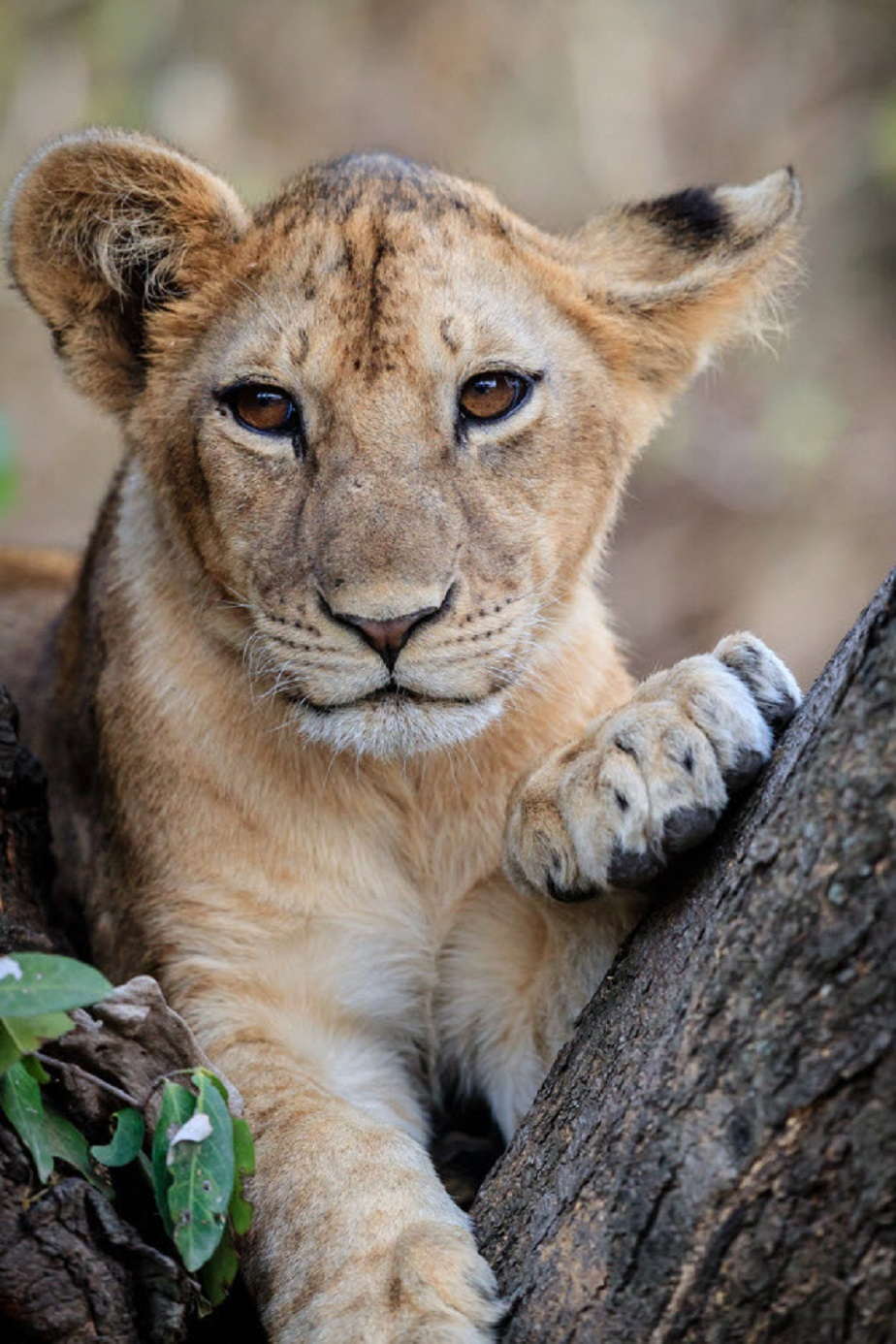 Lion Cub - Wix Photography