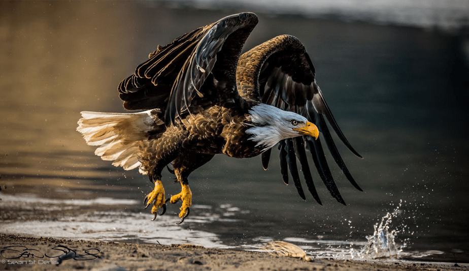 an eagle landing on water