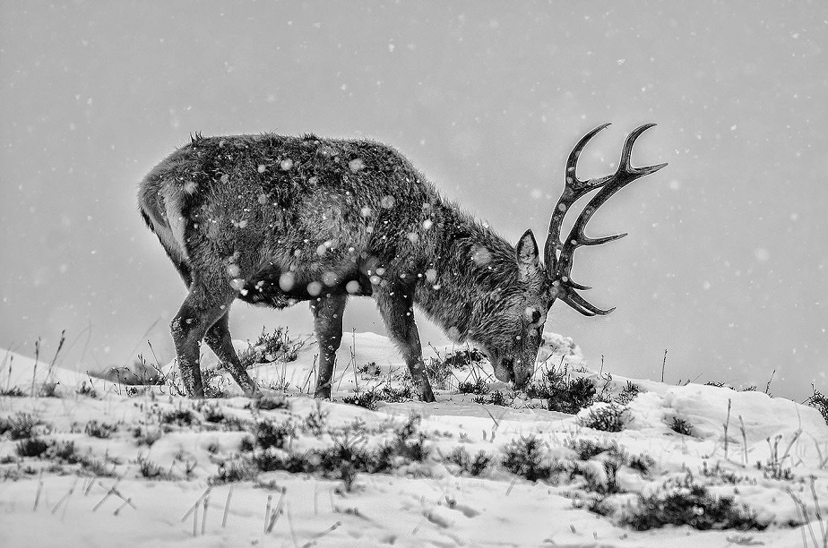 black and white picture of a deer in the snow by wix photographer eugene kitsios