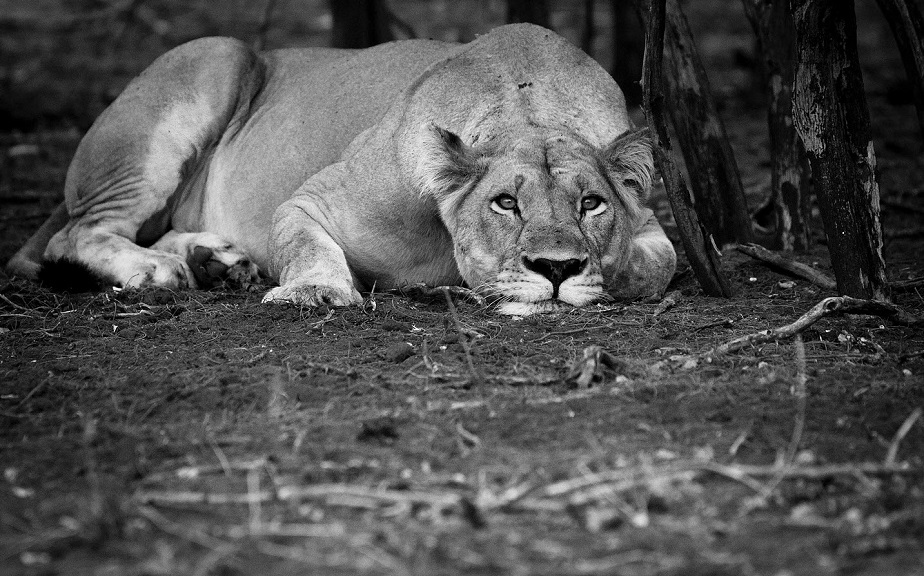 black and white picture of a lioness resting by wix photographer Hilary O'Leary