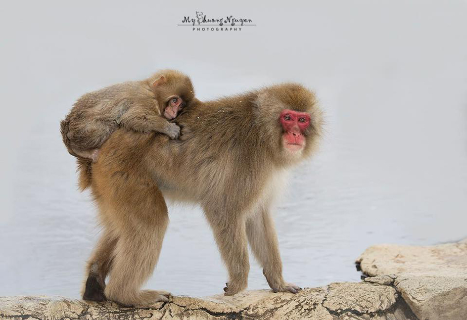 Snow monkey mother and baby in Japan