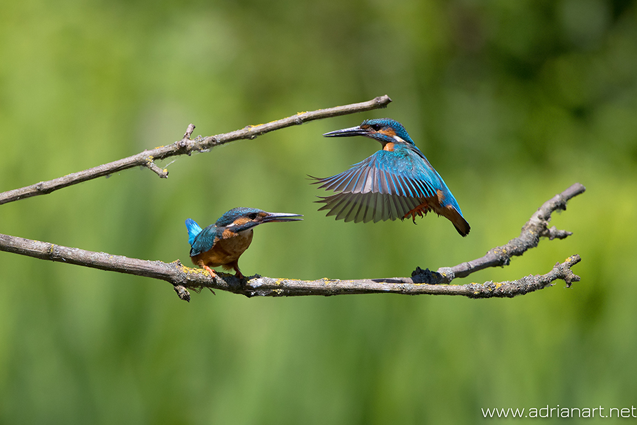 two blue birds on a branch
