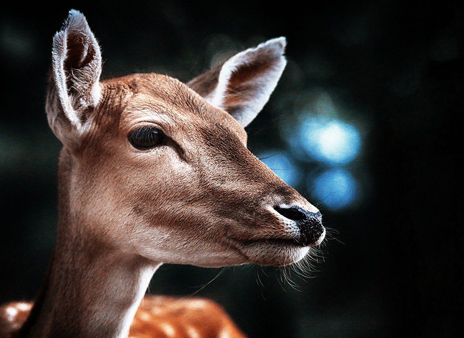 profile portrait of a deer