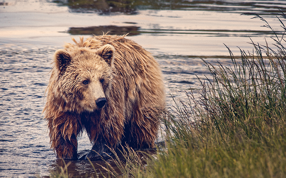 a brown bear on the river