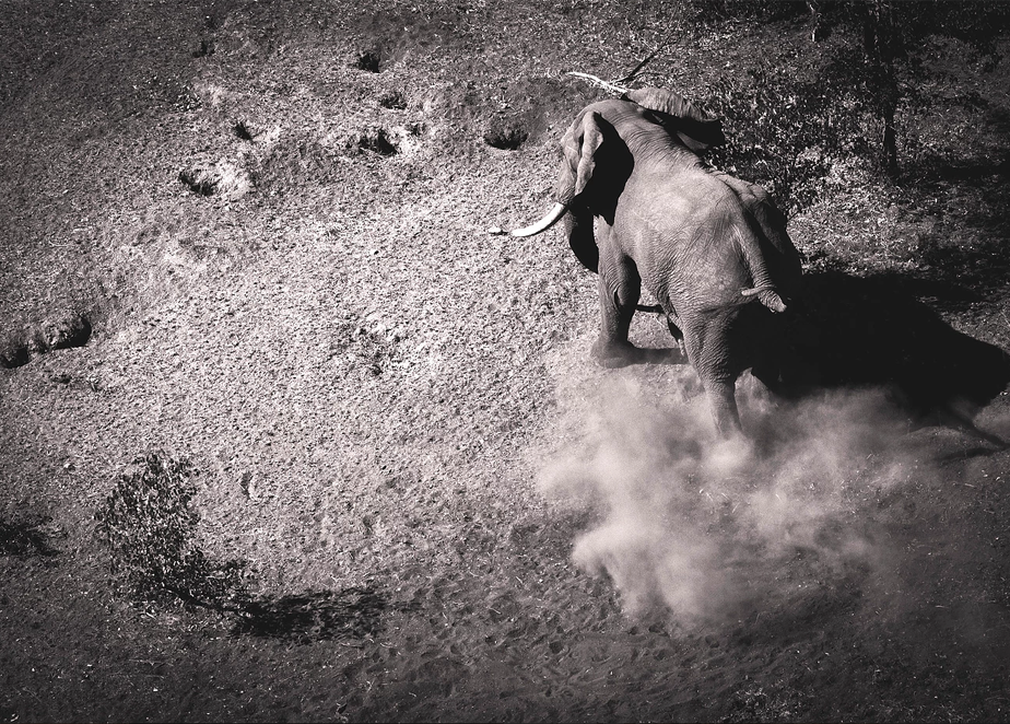 black and white image of an elephant