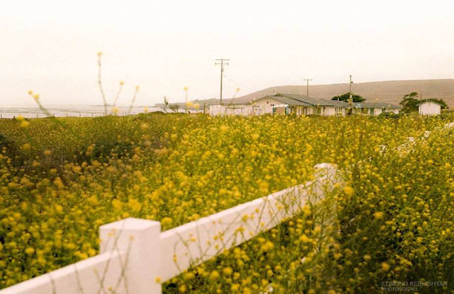 yellow flower fields with white gate and small house next to the sea