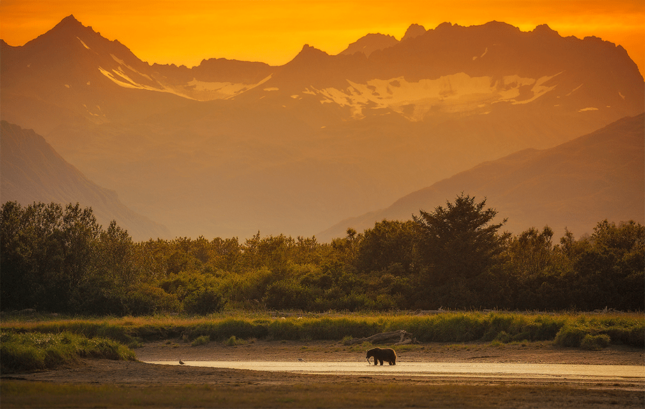 brown bear carrying a fish on a small river as the yellow sunset falls over the mountains