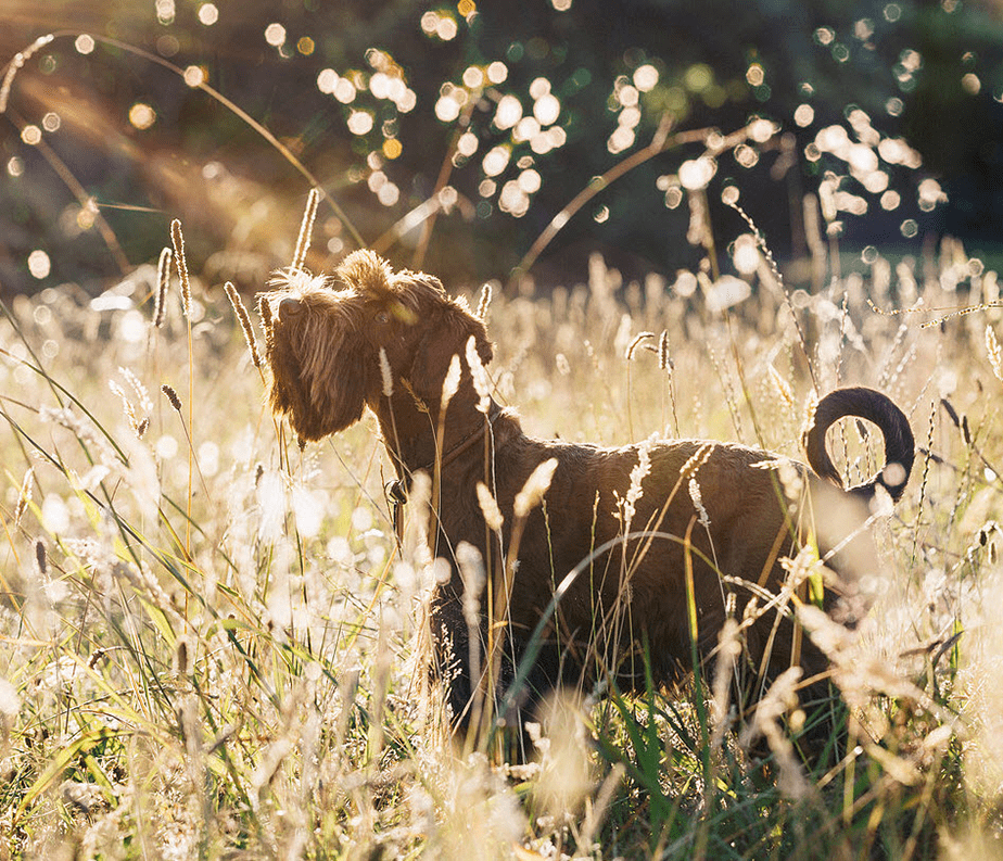 Schnauzer dog standing on a field looking towards the sunshine