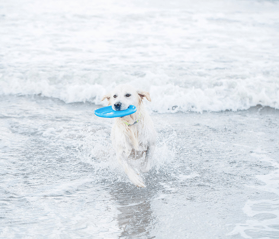 white labrador playing with a Frisbee on the sea