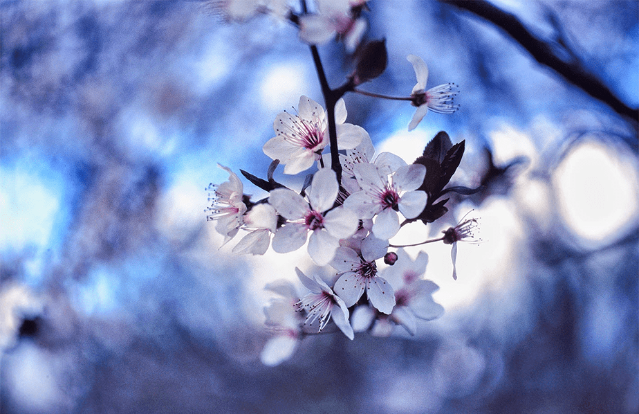 small white and pink flowers on a bokeh blue background