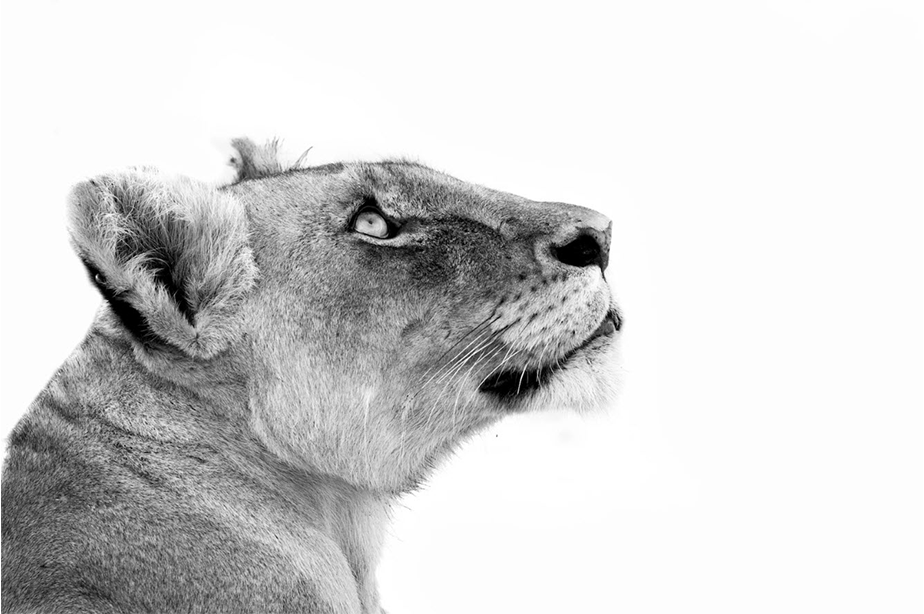 black and white lion profile portrait on white background
