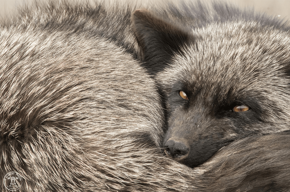 close-up of gray fox curled up on itself